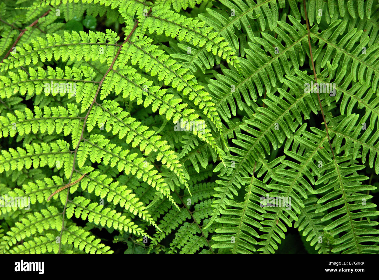 stock photo two types of ferns and a leech stretched out on the lighter frond trying to reach the jiri district nepal - Fern Types