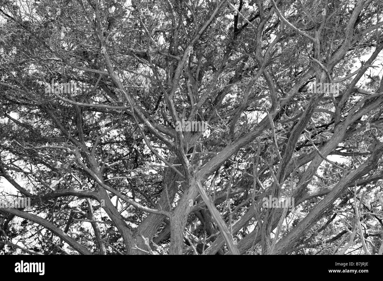 california cypress tree