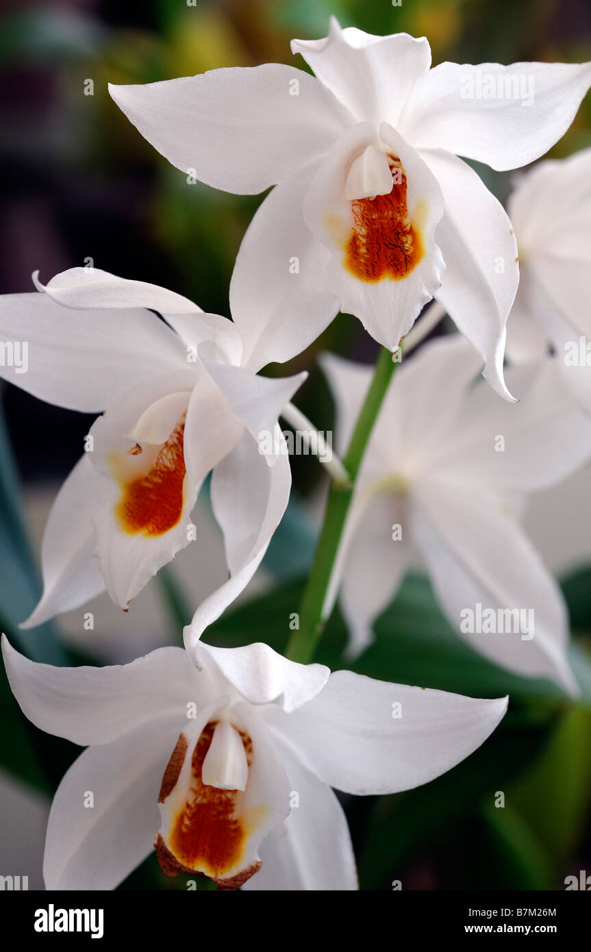 White Orchid Species