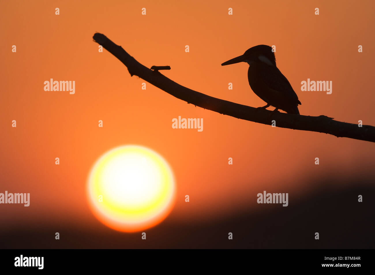 silhouette of a european kingfisher perched on a stick at sunset over a