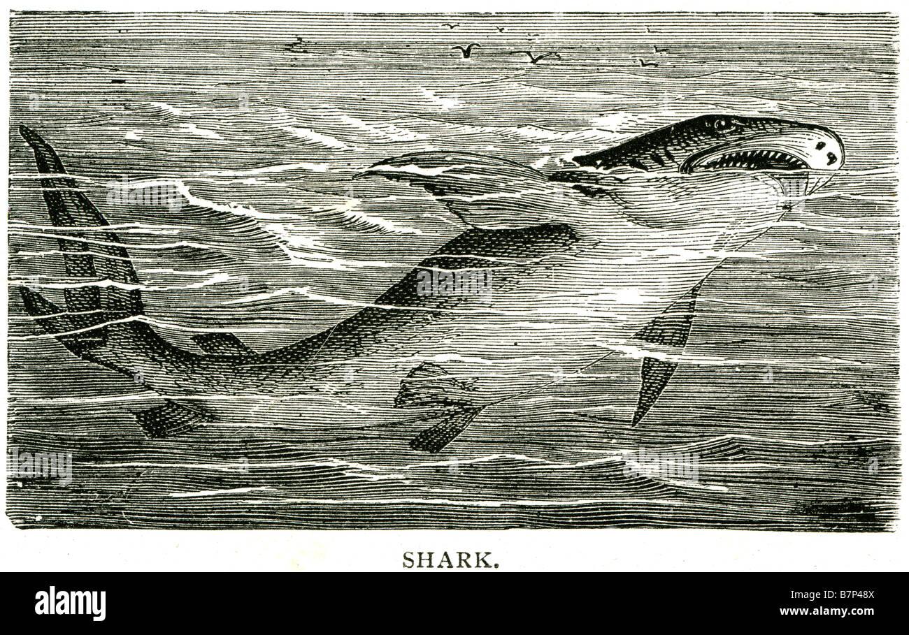 shark superorder selachimorpha fish cartilaginous skeleton stock shark superorder selachimorpha fish cartilaginous skeleton streamlined body respire five to seven gill slits sharks