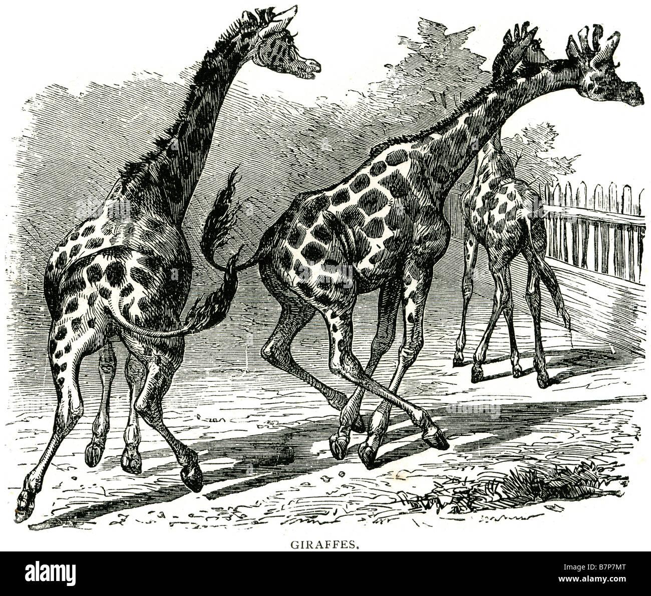 Ungulate Zoo even-toed ungulate mammal