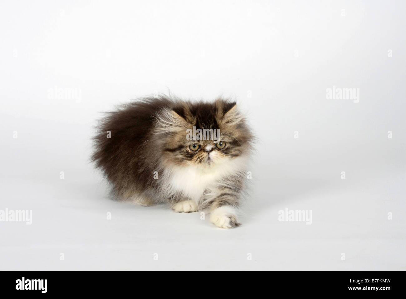 Persian Cat kitten 12 weeks black tabby white Stock Royalty