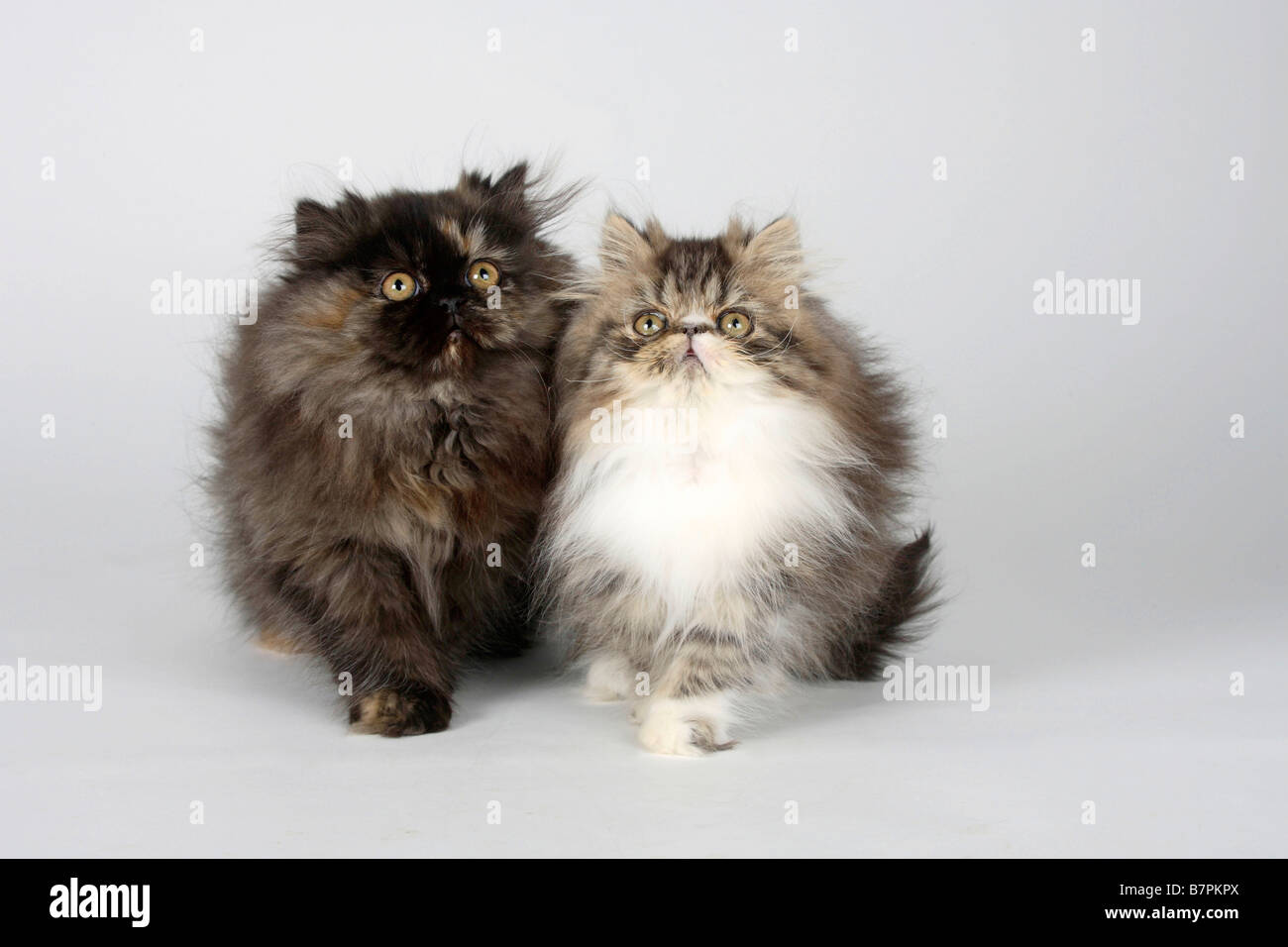 Persian Cat Stock s & Persian Cat Stock Alamy
