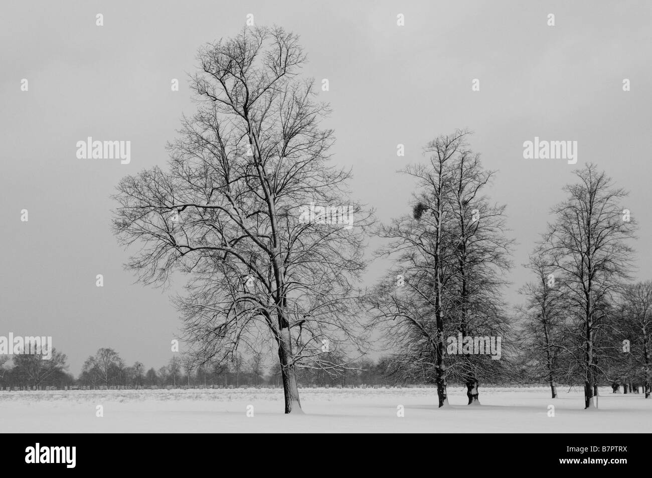 Beech Trees In Snow Home Park Surrey UK