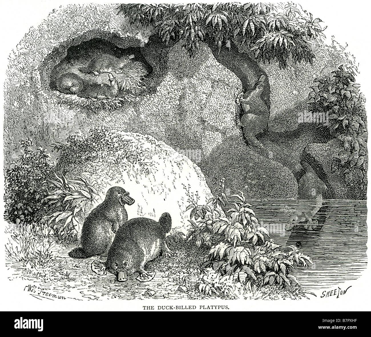 Platypus burrow diagram