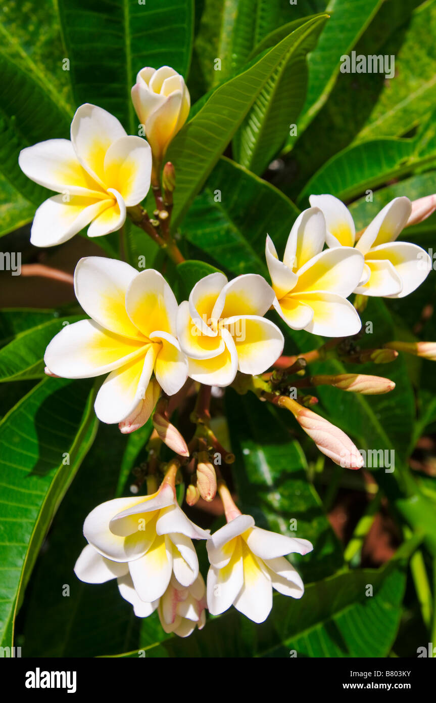 Plumeria flowers island of kauai hawaii stock photo royalty free plumeria flowers island of kauai hawaii izmirmasajfo Choice Image