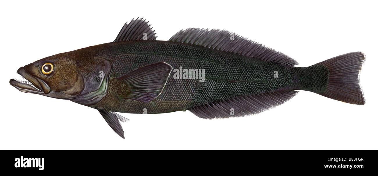 patagonian toothfish chilean sea bass