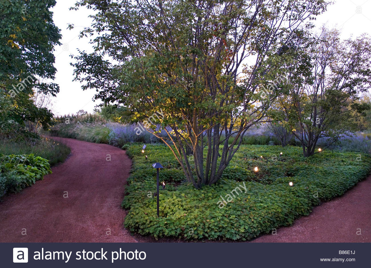 lighting under amelanchier x grandiflora autumn brilliance and planting evening island chicago botanic garden stock