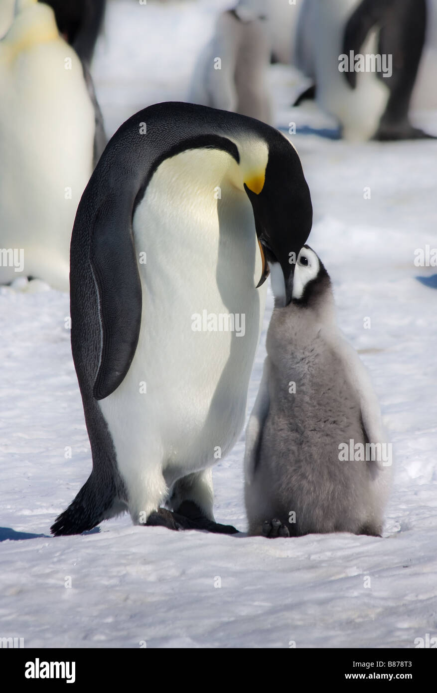 Baby fairy penguins