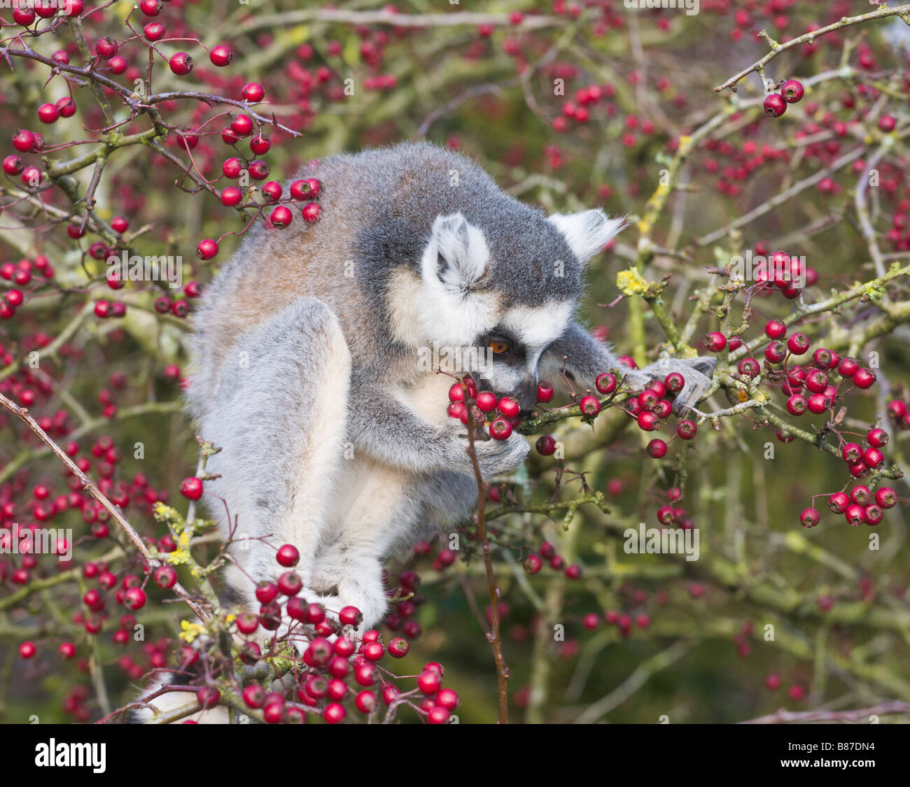 What Do Ring Tailed Lemurs Eat