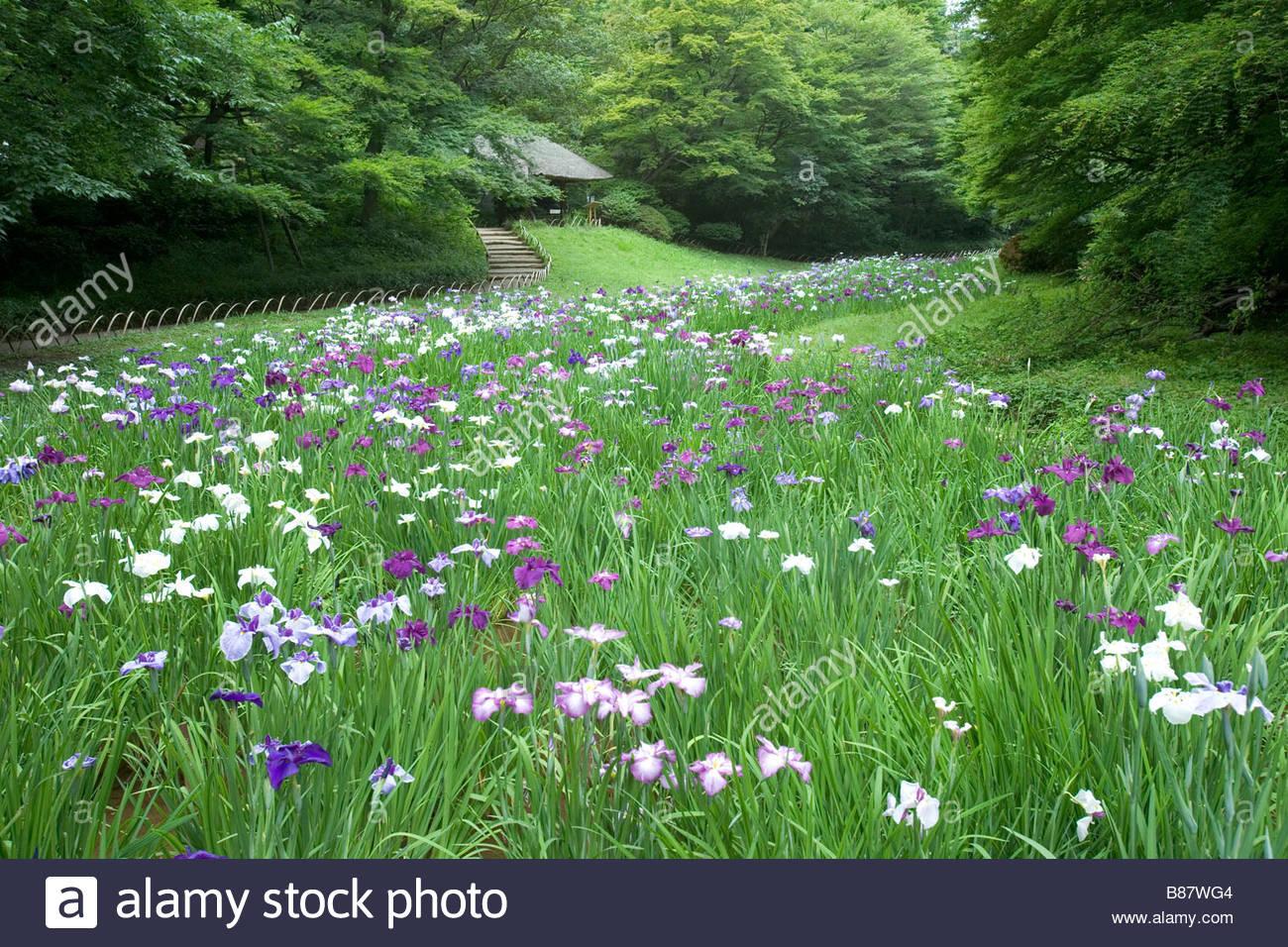 Meiji Jingu Iris Garden Flower Shinto Shrine Garden Tokyo Kanto Japan    Stock Image