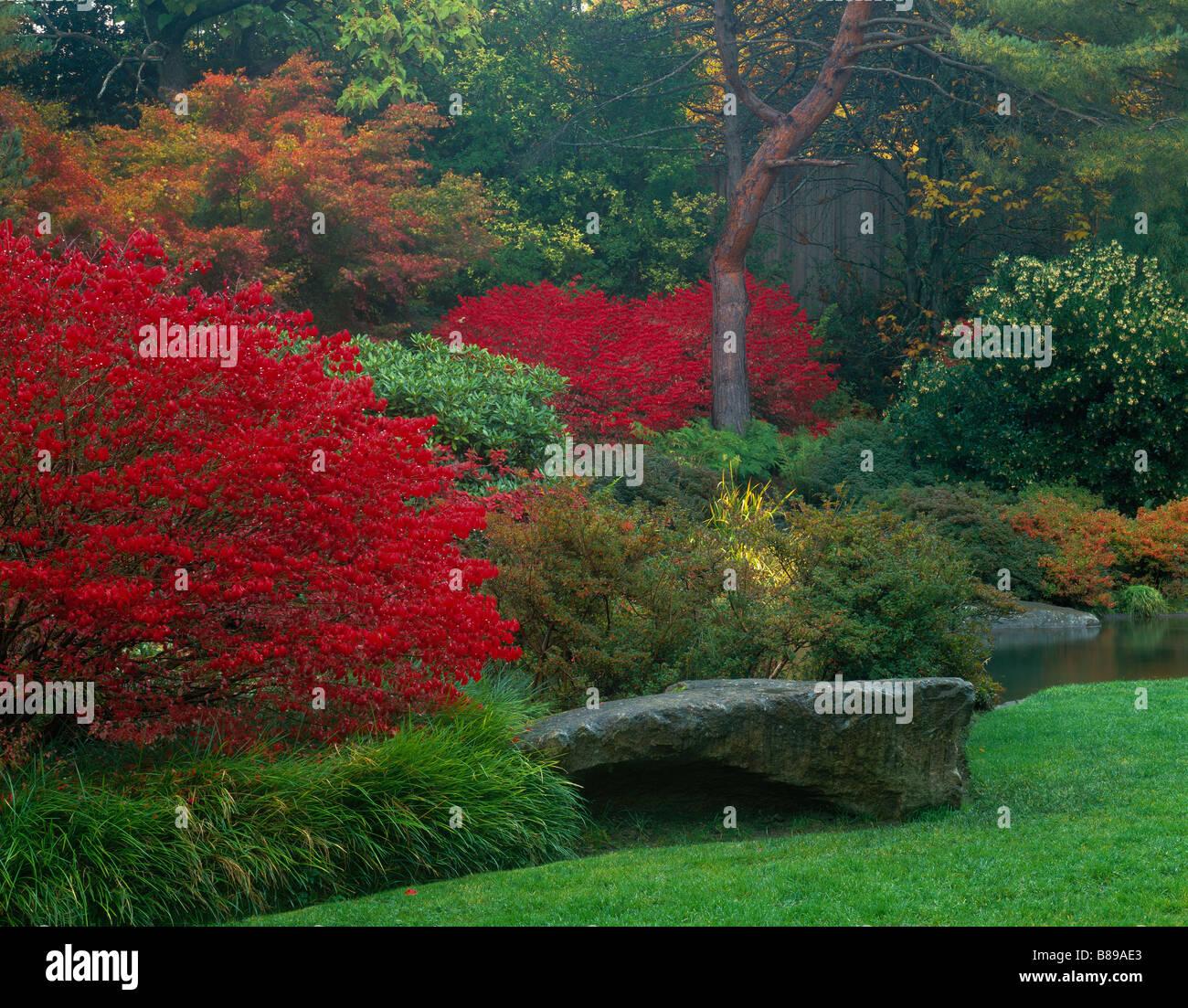 Seattle WA Kubota Gardens Vibrant red autumn leaves of burning