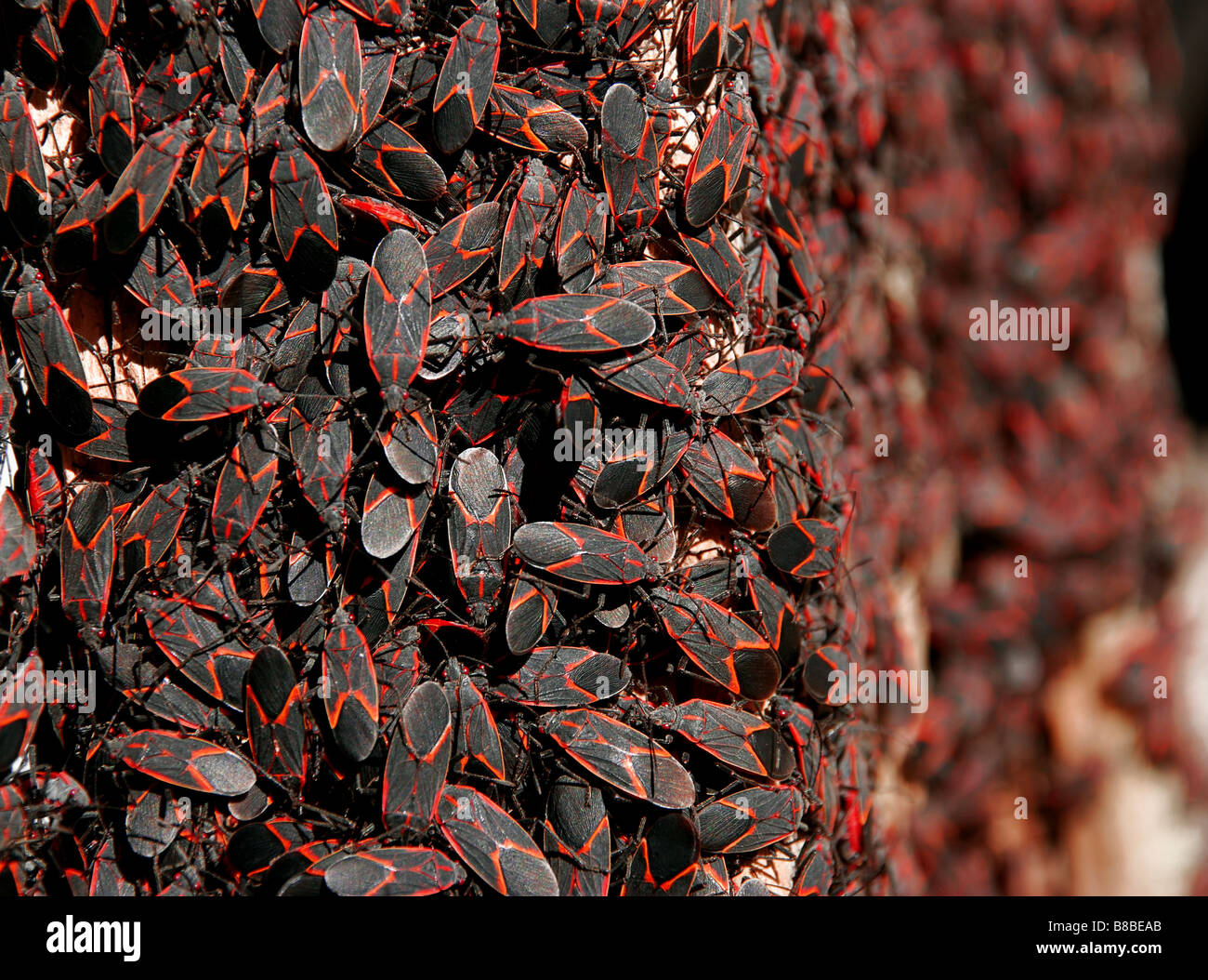 ... infestation or large group of red and black box elder bugs