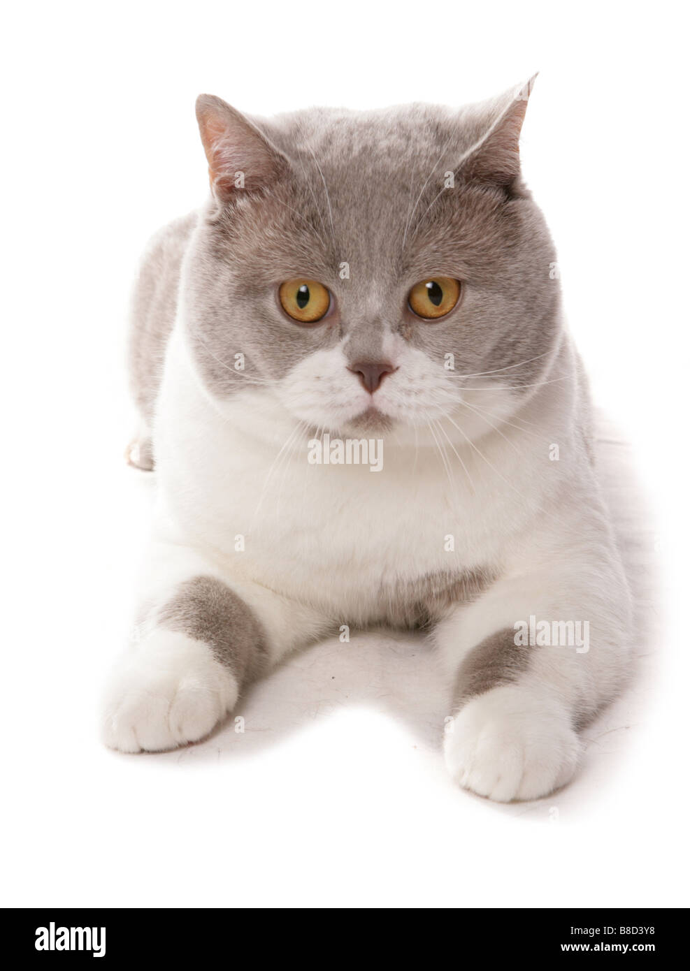 British Shorthair lilac and white cat Laying Portrait Studio Stock