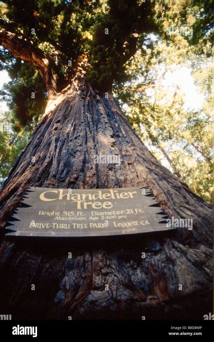 2400 year old tree leggett california stock photo royalty free 2400 year old tree leggett california arubaitofo Gallery