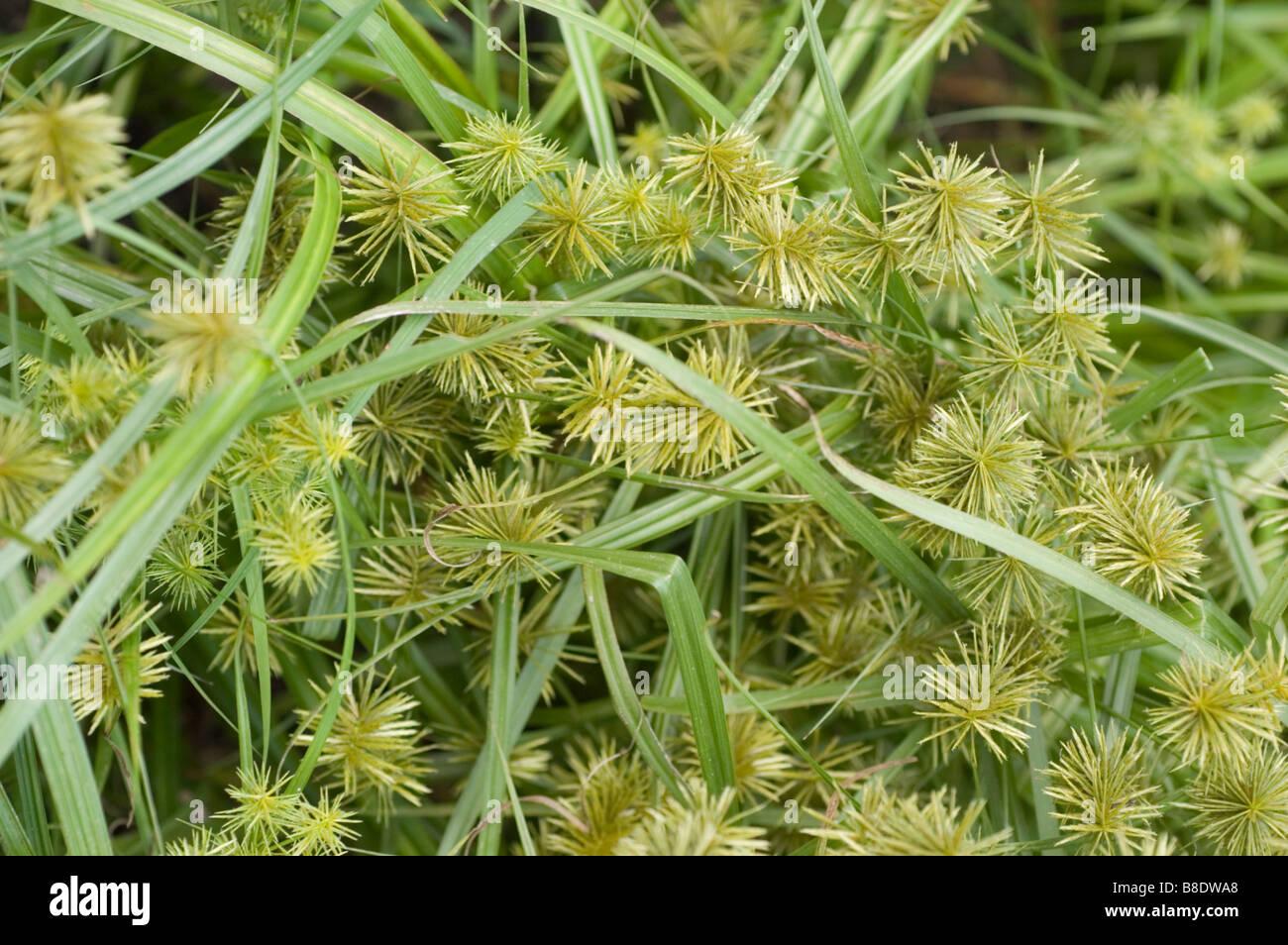 Scirpus atrovirens (dark-green bulrush): Go Botany