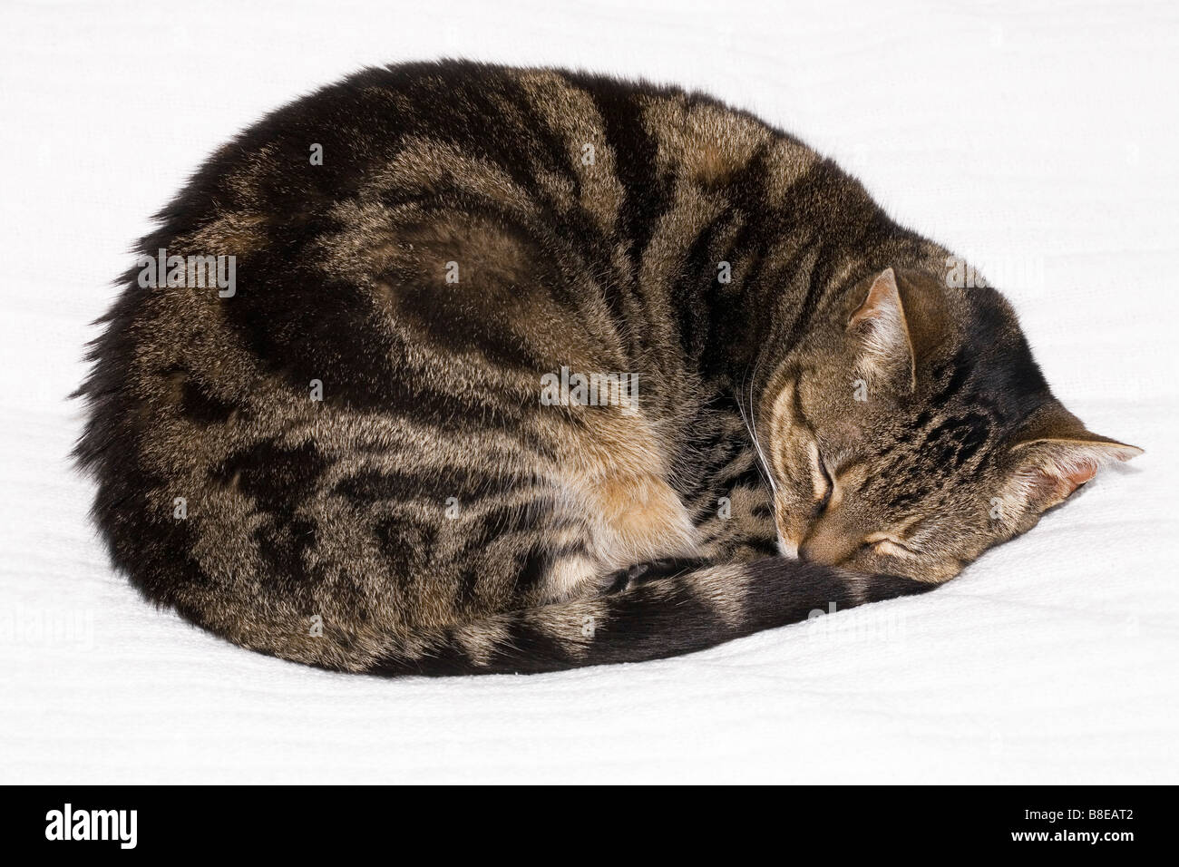 Tabby Cat Sleeping Curled Up Stock Photo Royalty Free