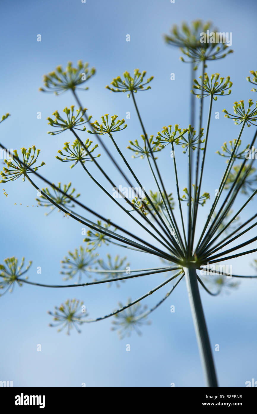 close-up-of-a-single-stem-of-cow-parsley