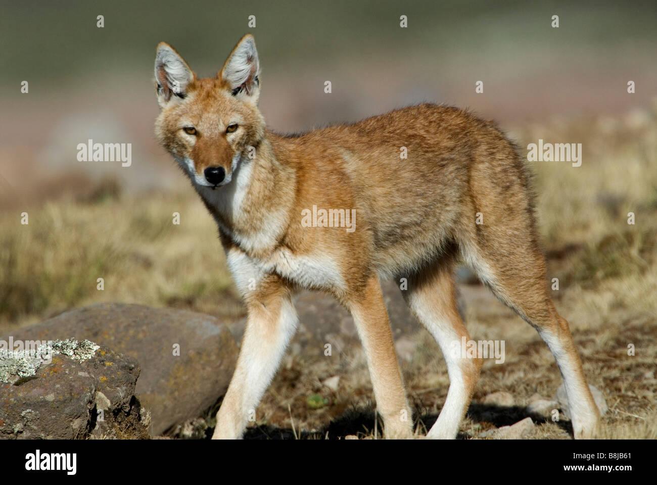 Ethiopian wolf Canis simensis Bale Ethiopia Stock Photo ...