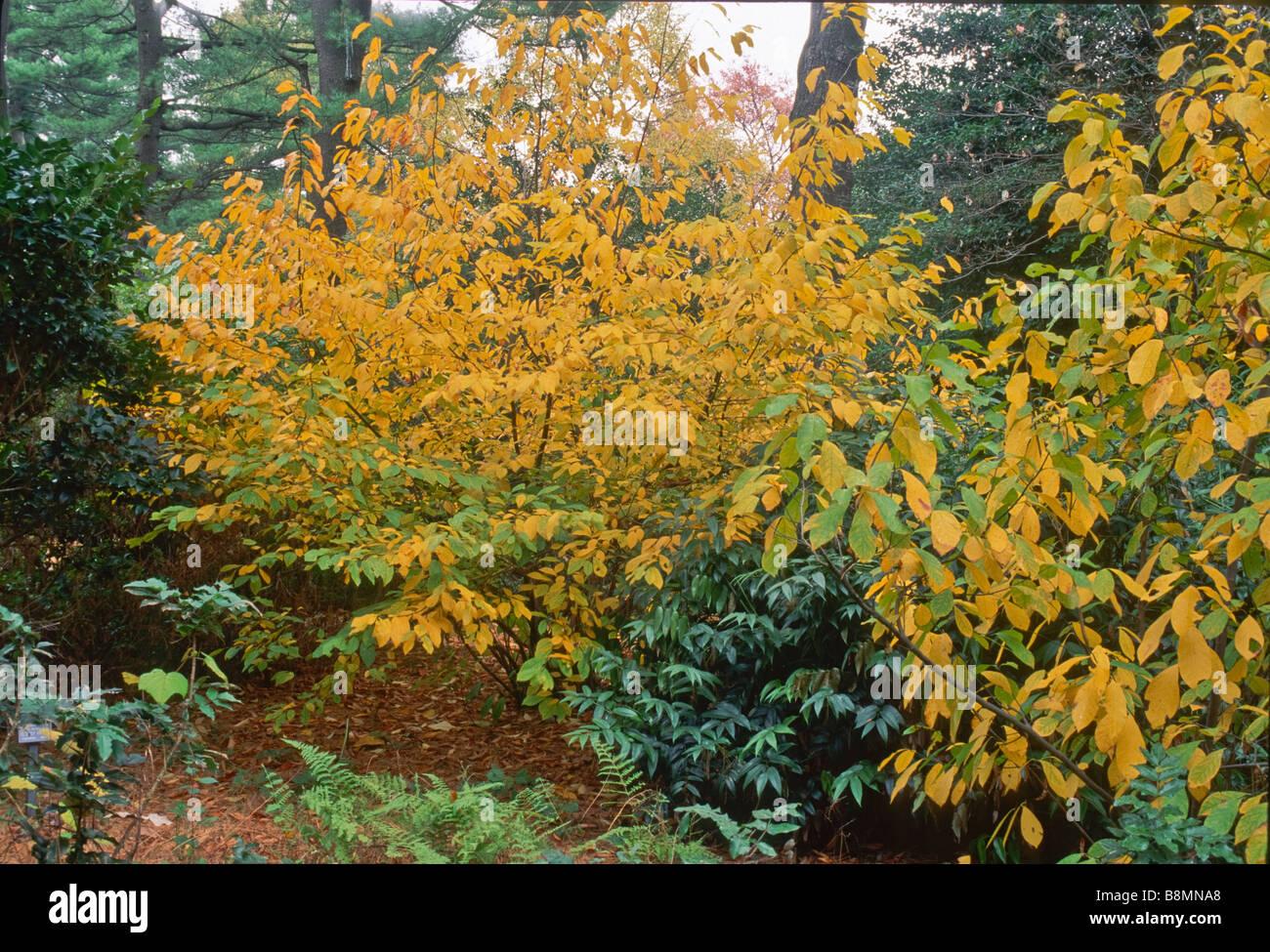 the native shrub lindera benzoin spicebush with its