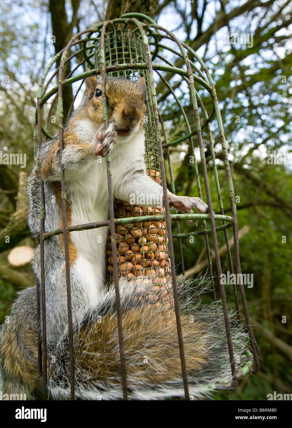 grey squirrel trapped inside a squirrel proof bird feeder uk september stock photo - Squirrel Proof Bird Feeders