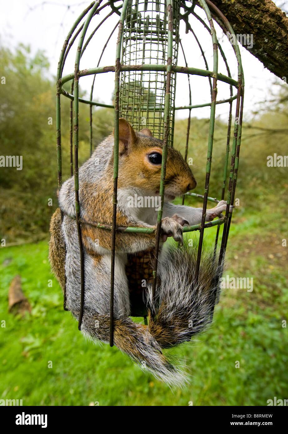 Grey Squirrel trapped inside a squirrel proof bird feeder ...
