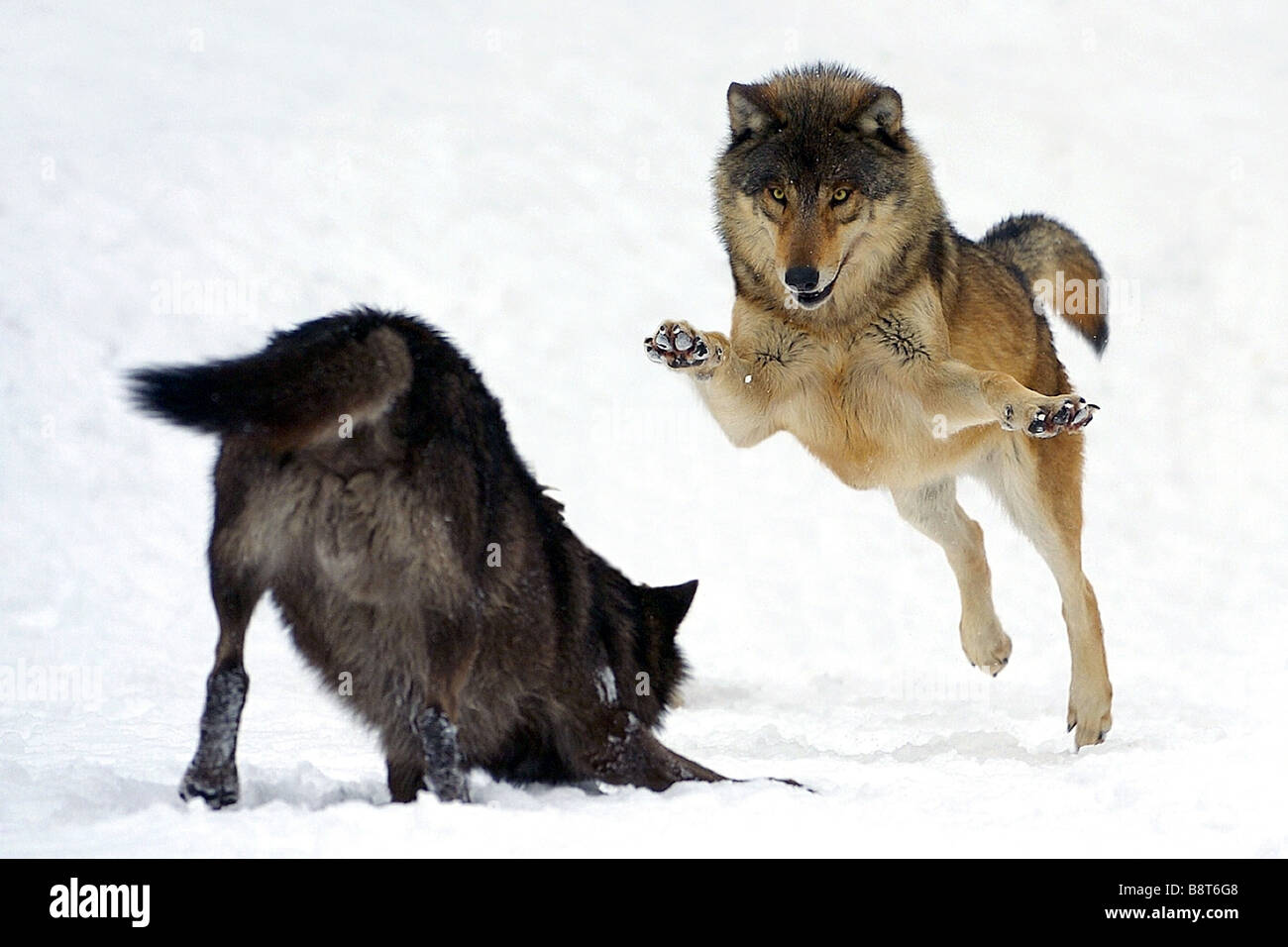 Image Gallery wolves fighting