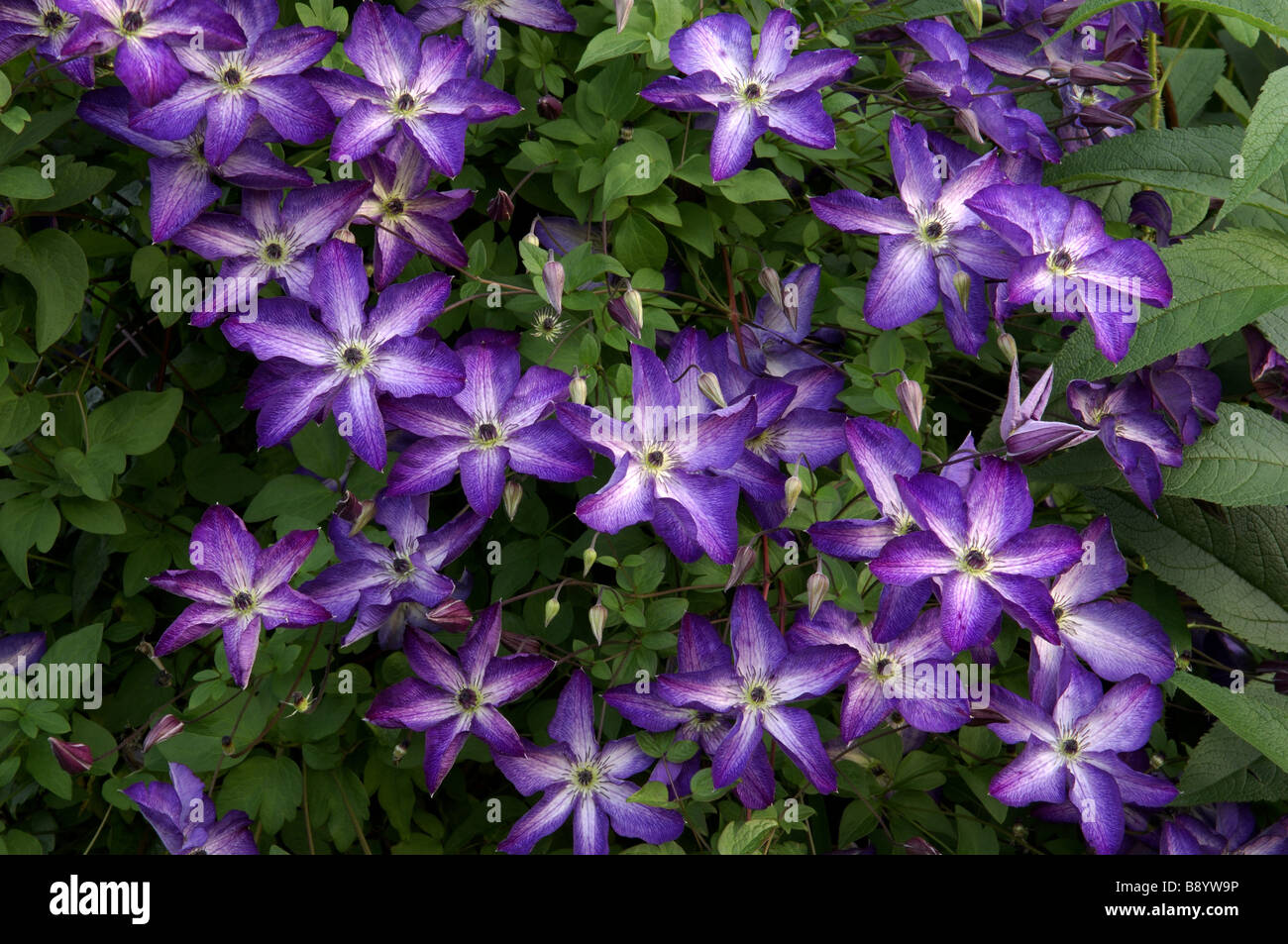 clematis viticella voluceau flowering in july at. Black Bedroom Furniture Sets. Home Design Ideas