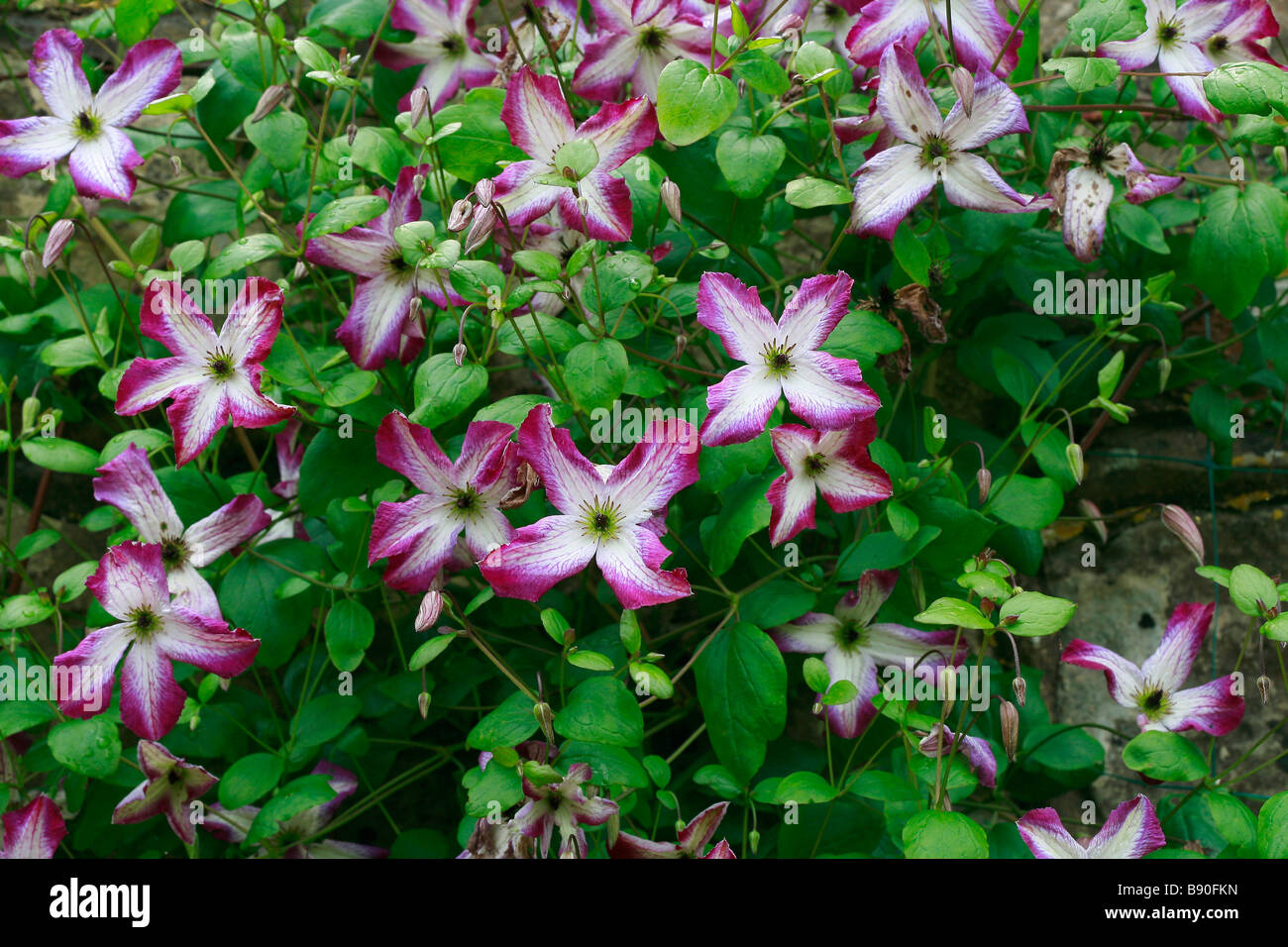 clematis viticella minuet stock photo royalty free image. Black Bedroom Furniture Sets. Home Design Ideas