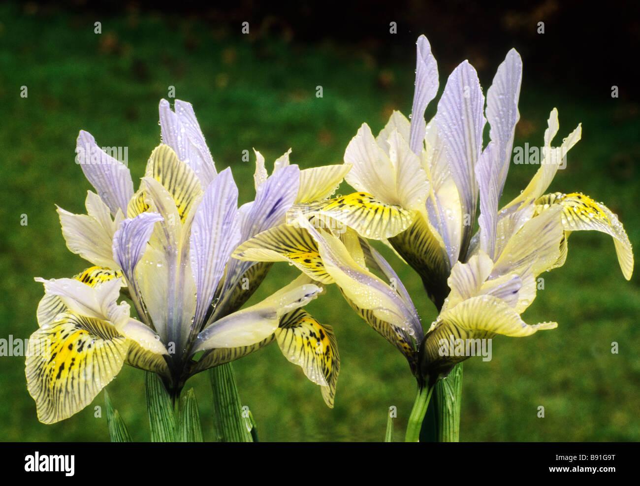 Iris Katharine Hodgkin Reticulata iris Katherine Catherine yellow