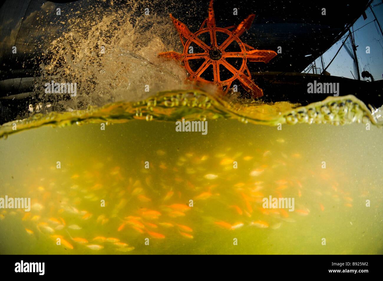 Israel kibbutz maagan michael koi brocaded carp cyprinus for Koi spawning pool