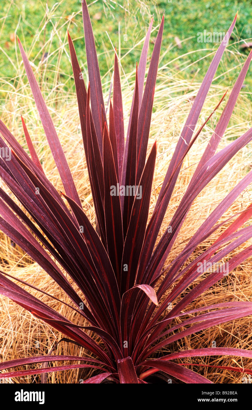 Cordyline australis 39 red star 39 structural leaf plant for Structural plants for small gardens