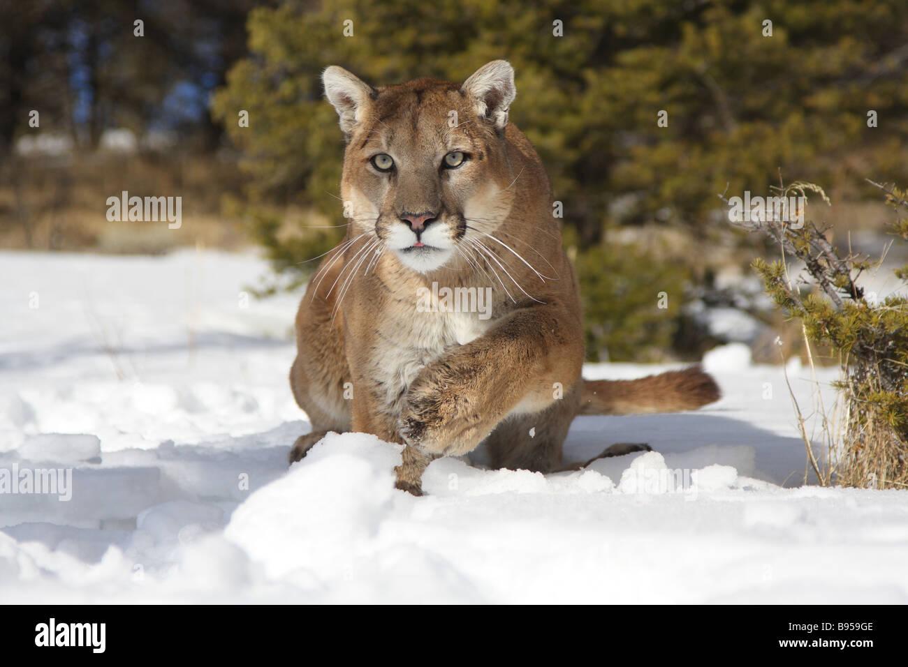 B Mobile Mountain Lion Mountain lion, cougar,...