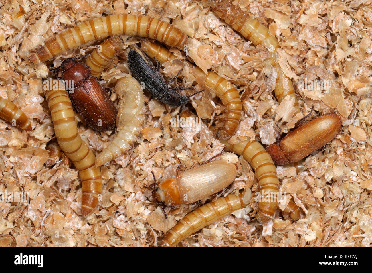 research paper tenebrio The aim of the work was to determine the nutritional value of larvae of mealworm (tenebrio student research of mealworm (tenebrio molitor l) as european.
