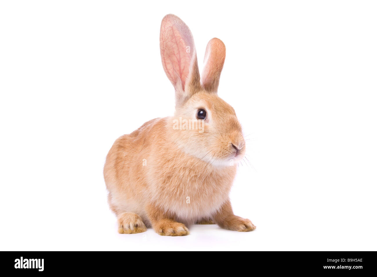 curious young red rabbit isolated on white background easter