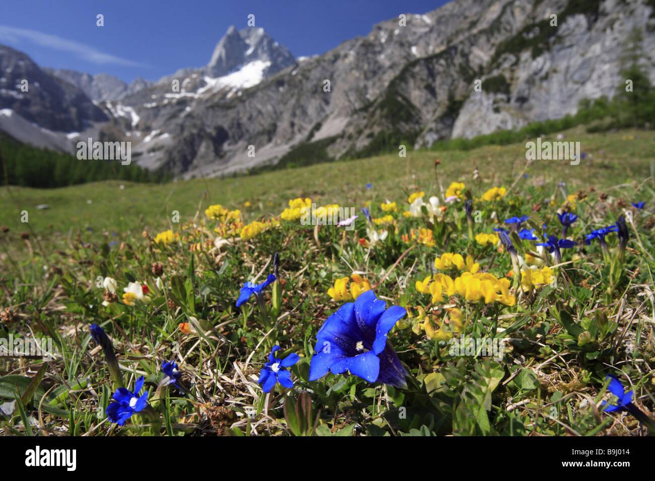 mountainmeadow flowers gentian gentiana clusii alps