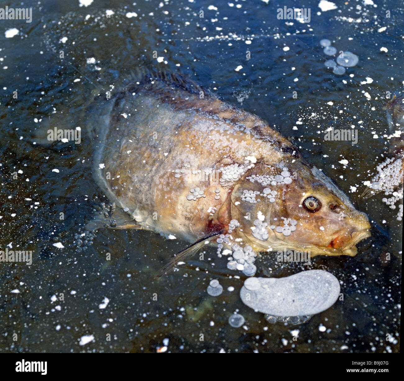 Frozen carp in a frozen fish pond stock photo royalty for Premade koi ponds