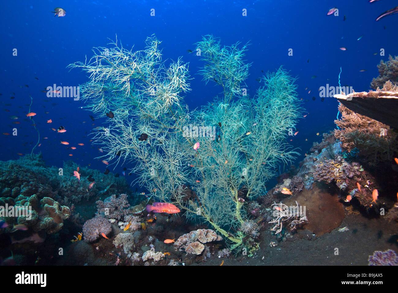 Black Coral (Antipathes Sp) On Black Sea Floor Of Volcanic Origin,  Indonesia,