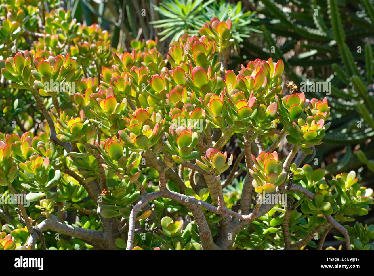 Crassula Crosby Red Succulent Stock Photo Royalty Free Image 23152135 Alamy