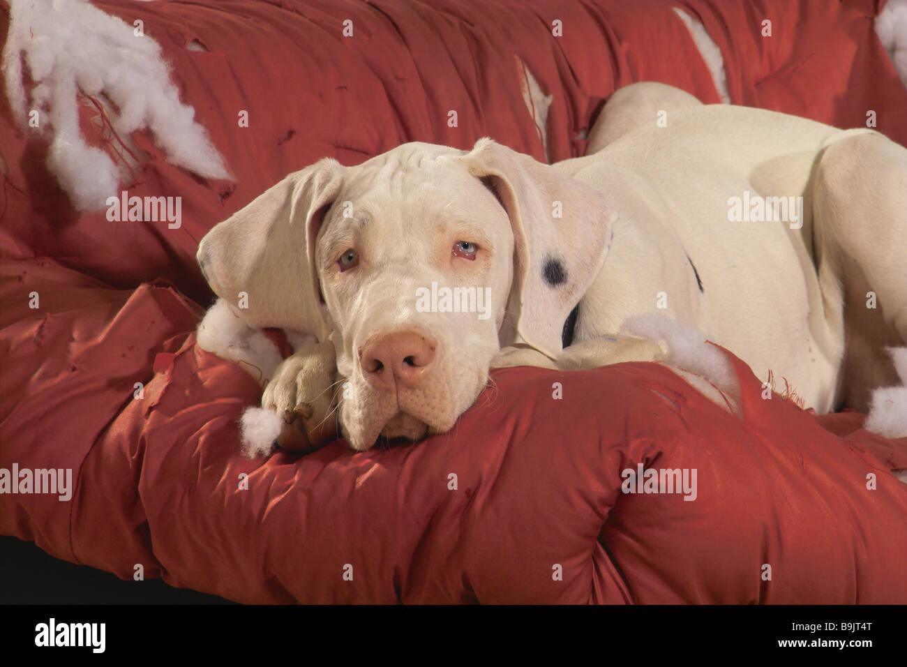Great Dane Dog   Lying On Destroyed Sofa