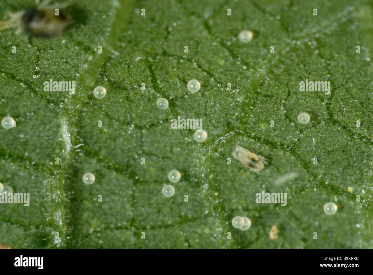 Spider mite eggs