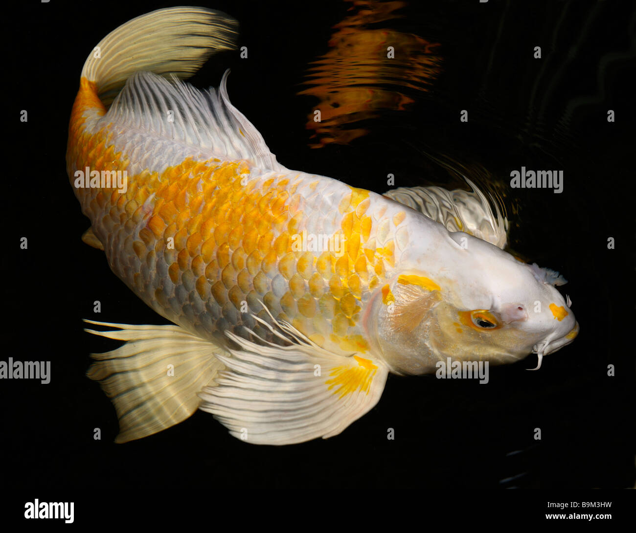 White and yellow yamabuki hariwake butterfly koi fish for Koi fish water