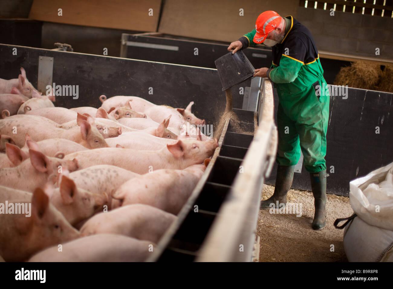 Выращиваниё свиней 20