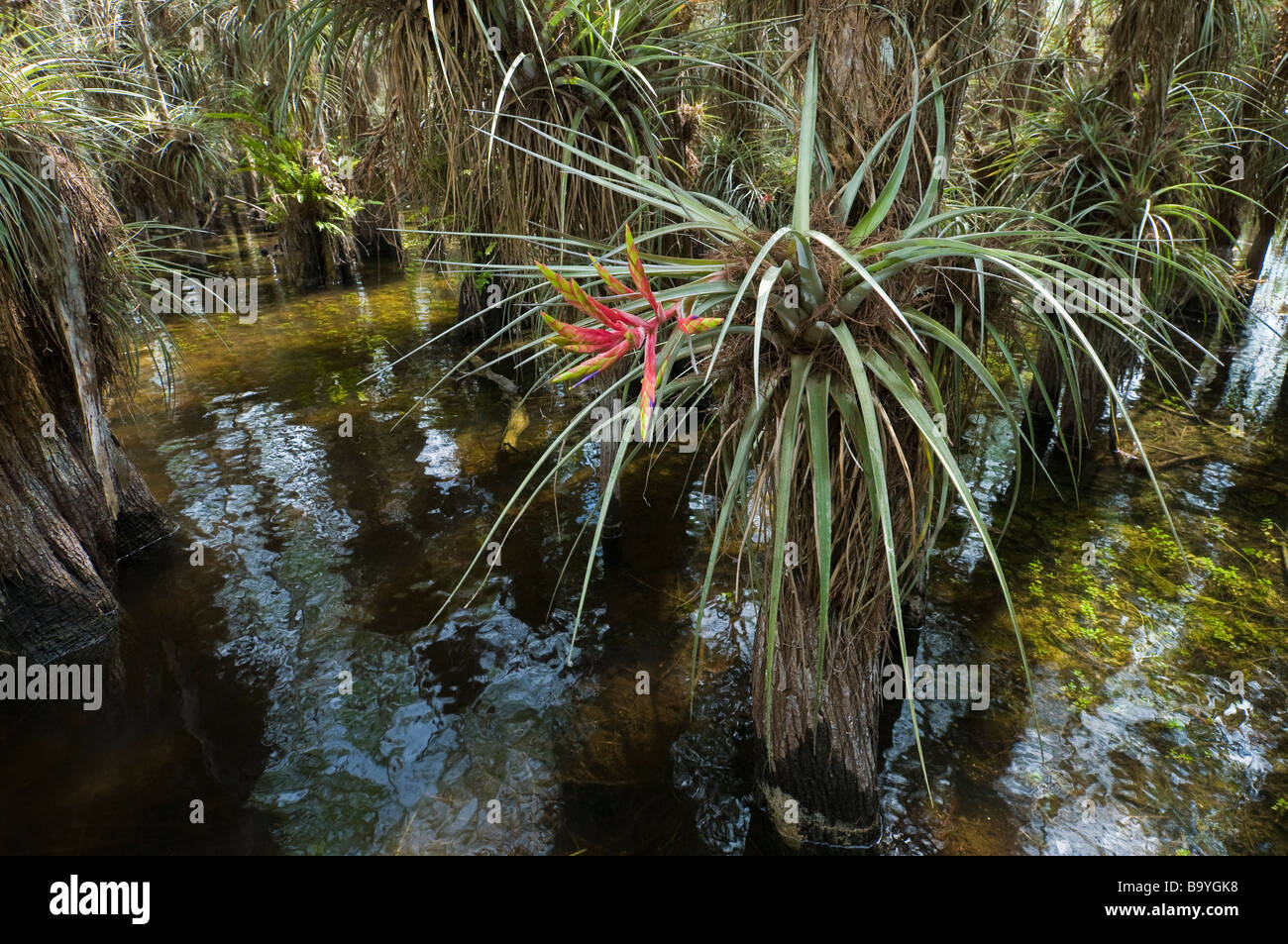 wild pine or quill leaf air plant flowers in bald cypress tree hammock everglades national park florida wild pine or quill leaf air plant flowers in bald cypress tree      rh   alamy