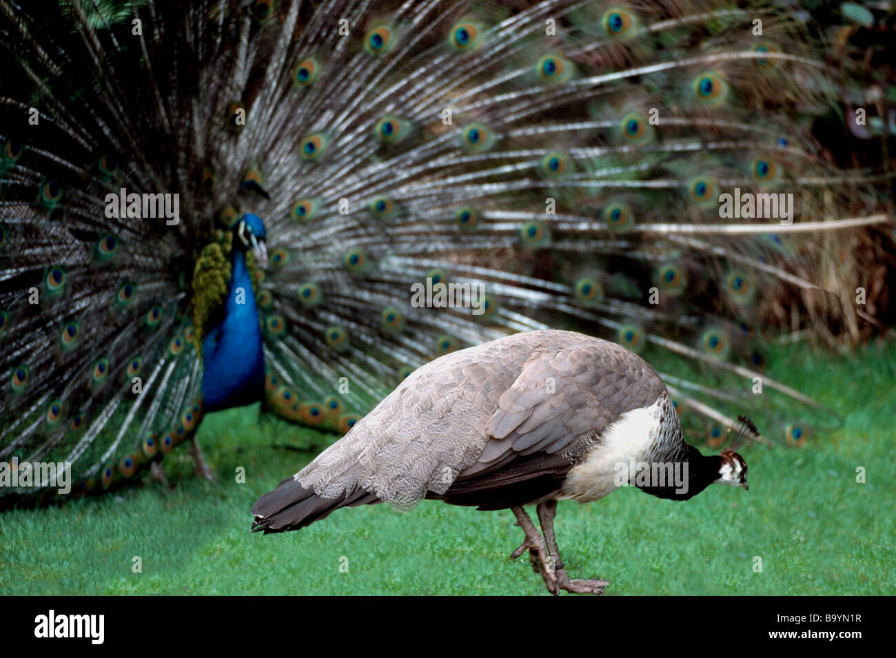 Peahen And Peacock Mating Indian Blue Male Peaco...