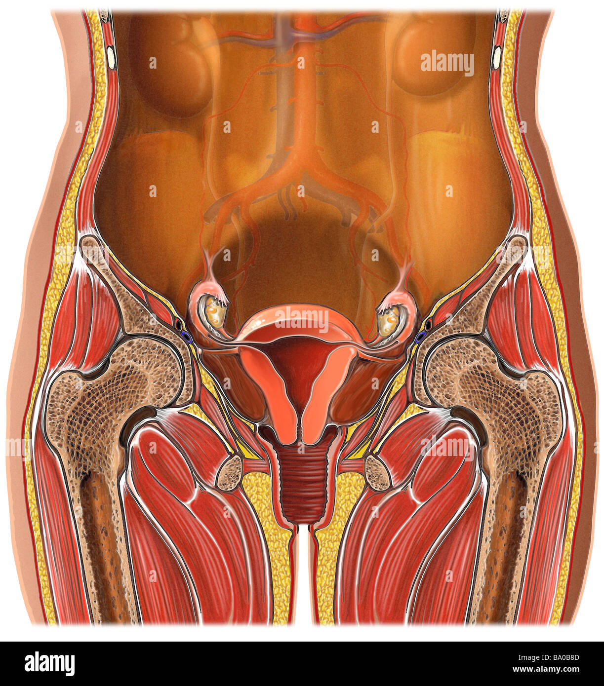 female reproductive organs stock photos & female reproductive, Cephalic Vein