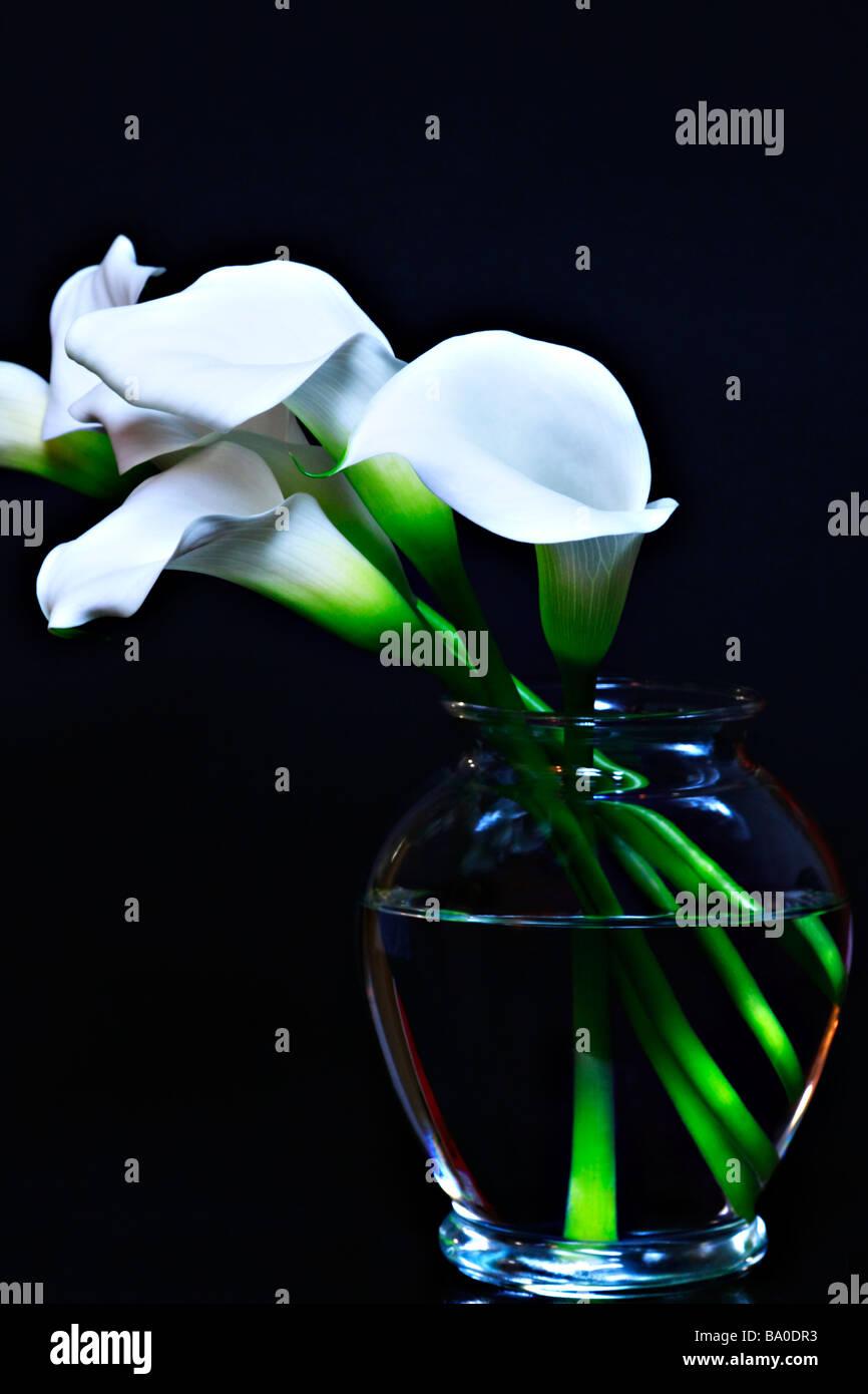 Calla lily zantesdeschia aethiopica in a glass vase with black calla lily zantesdeschia aethiopica in a glass vase with black background reviewsmspy