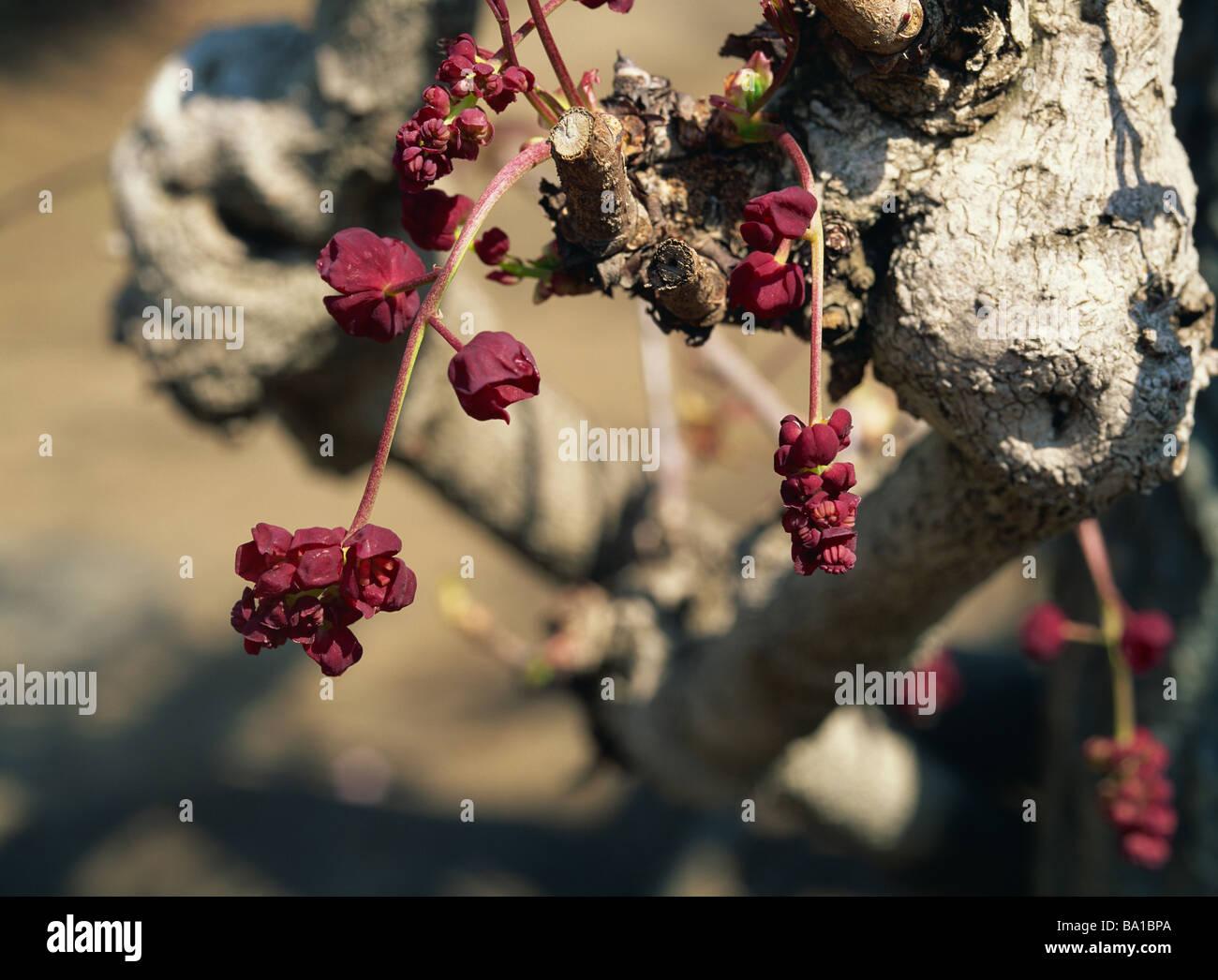 Chocolate Vine Flowers Growing on Tree Stock Photo, Royalty Free ...