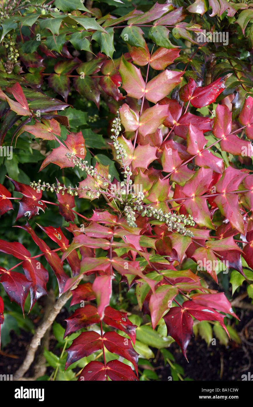 The foliage of mahonia japonica bealei in winter stock for Mahonia japonica